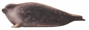 Magnes drewniany foka obrączkowana